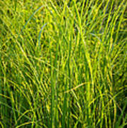 Midwest Prairie Grasses Poster
