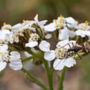 Milkweed Bug Macro Poster