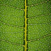 Milkweed Leaf Poster by Steve Gadomski