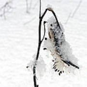Milkweed Seed Pod In Winter Poster