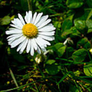 Miniature Daisy In The Grass Poster