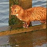 Mink Catching Fish Poster