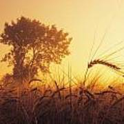 Mist In A Barley Field At Sunset Poster
