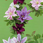 Mixed Clematis Flowers Poster