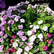 Mixed Impatiens In Dappled Shade Poster