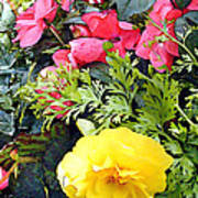 Mixed Ranunculus In A Hanging Basket Poster