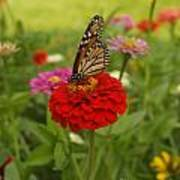 Monarch And Red Zinnia 2009 Poster