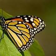 Monarch Beauty Poster by Dean Bennett