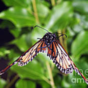Monarch Butterfly In Flight Poster