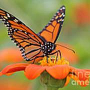 Monarch Butterfly Macro Poster