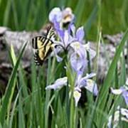 Butterfly On Iris Poster