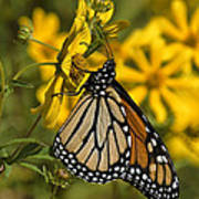 Monarch Butterfly On Tickseed Sunflower Din146 Poster