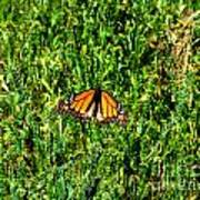 Monarch Butterfly Photograph Poster