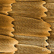 Monarch Butterfly Scales, Sem Poster