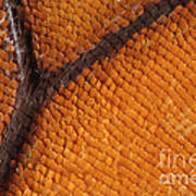 Monarch Butterfly Wing Scales Poster