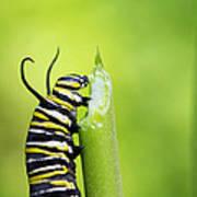 Monarch Caterpillar  Poster
