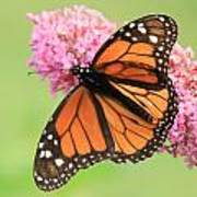 Monarch On Blossoms Poster