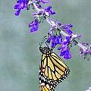 Monarch On Purple Poster