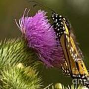 Monarch Thistle Munching Poster