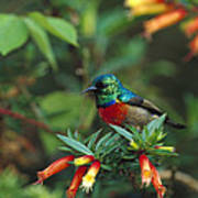 Montane Double-collared Sunbird Poster