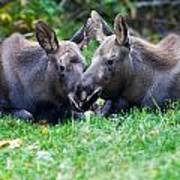 Moose Calves  Poster