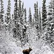 Moose In Deep Snow, Near Teslin, Yukon Poster
