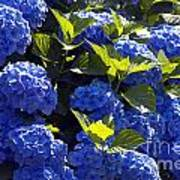 Mophead Hydrangeas Dry Brushed Poster