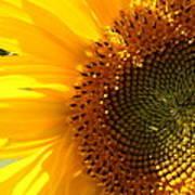 Morning Dew On Sunflower Poster