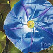 Morning Glory B Poster by Elizabeth Dobbs