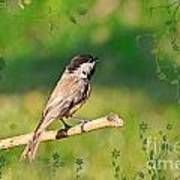 Morning Song Chickadee Poster