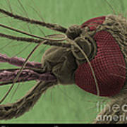 Mosquitos Head, Sem Poster