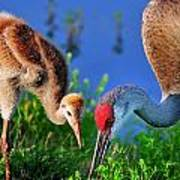 Mother And Young Sandhill Crane Poster