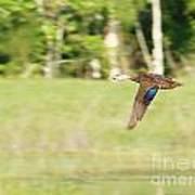 Mottled Duck Flying Poster
