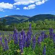 Mount Adams And Lupine Field Poster