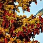Mountain Bluebird Sialia Currucoides Poster