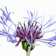 Mountain Cornflower (centaurea Montana) Against White Background Poster
