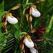 Mountain Lady's Slipper Orchid Poster