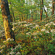 Mountain Laurel Blooming In A Hyner Poster