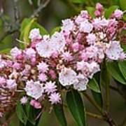 Mountain Laurel Blooming Poster