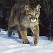 Mountain Lion Felis Concolor Idaho, Usa Poster