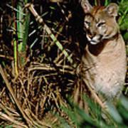 Mountain Lion Puma Concolor Portrait Poster