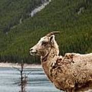Mountain Sheep 1639 Poster