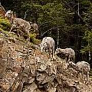 Mountain Sheep 1668 Poster