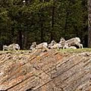 Mountain Sheep 1673 Poster