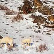 Mountain Sheep Poster