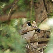 Mourning Dove Nesting Poster