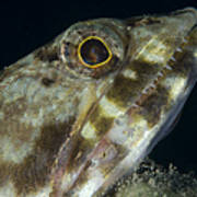 Mouth Of A Variegated Lizardfish, Papua Poster