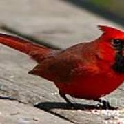 Mr. Cardinal Poster