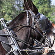 Mule Days - Benson - A Pair Of Aces - Mules Poster