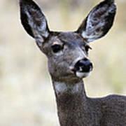 Mule Deer Doe Poster